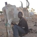 L'éleveur s'occupe de ses vaches.