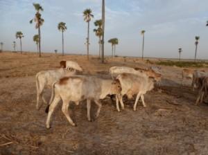 les petits sont attachés au centre du troupeau pour être protégés des hyènes